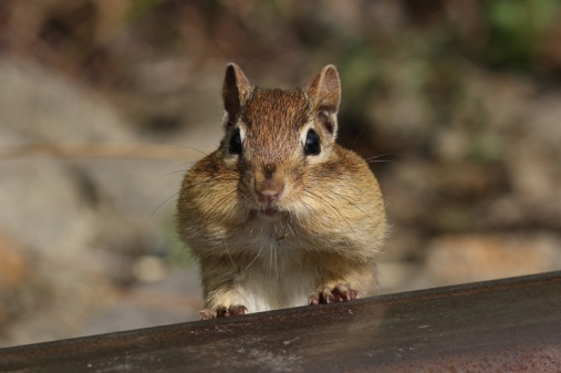 chipmunk-cheeks-filled-with-food